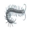 Escolopendra